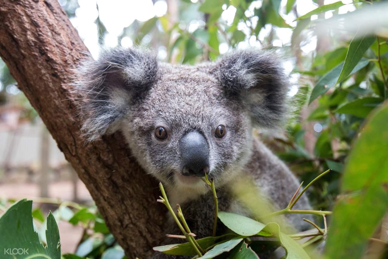 Currumbin Wildlife Sanctuary is home to over 50 koalas