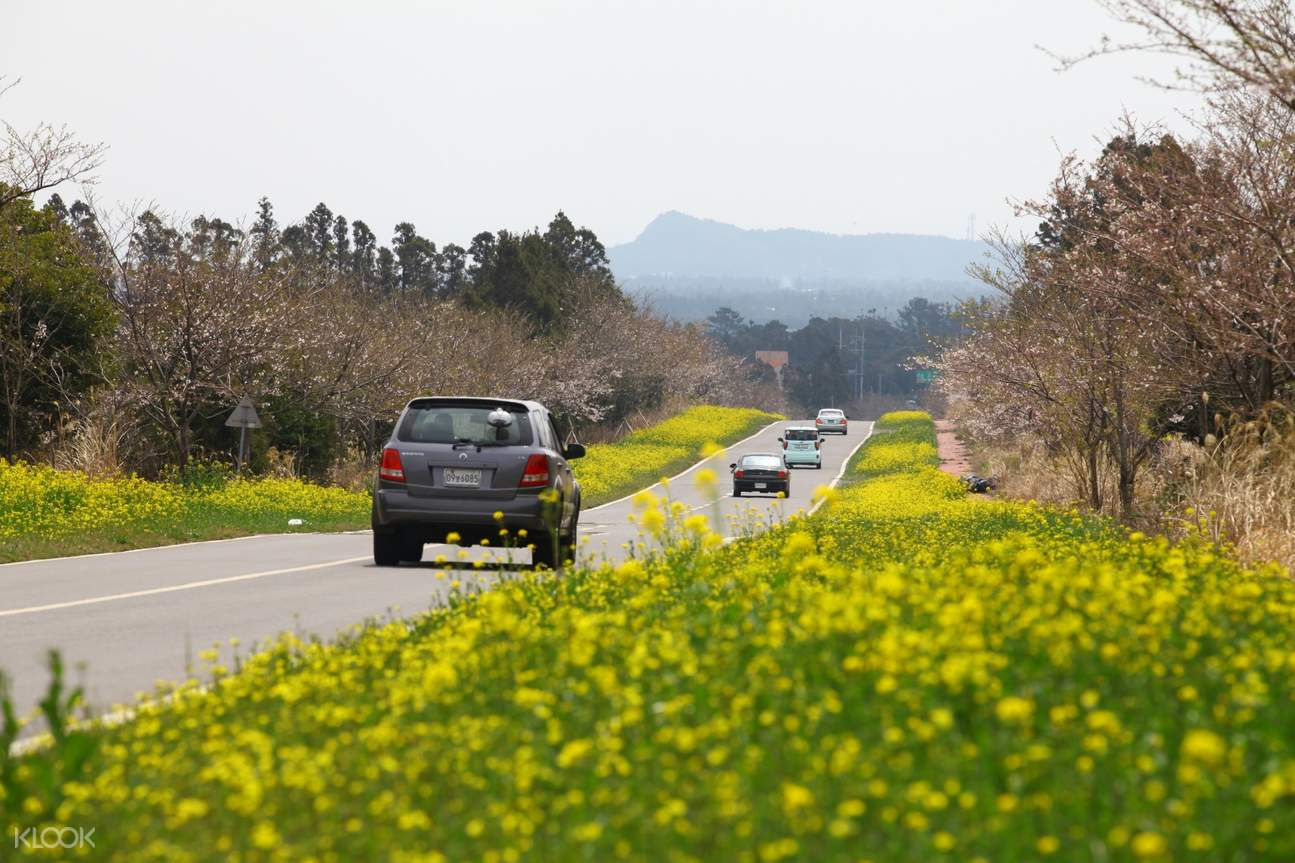 noksanro road jeju yellow flowers