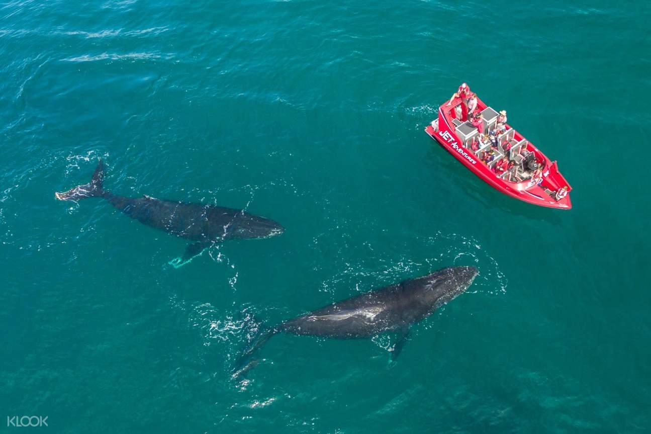 whales near jet boat