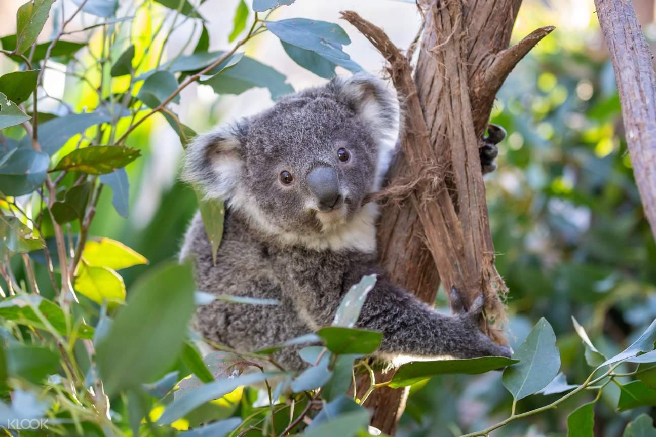 wild life sydney zoo koala