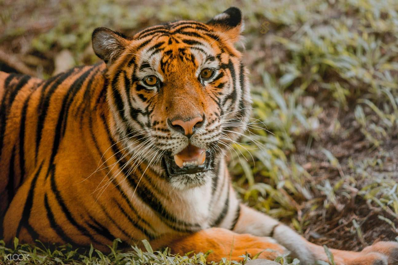 Tiger inside Cebu Safari Park