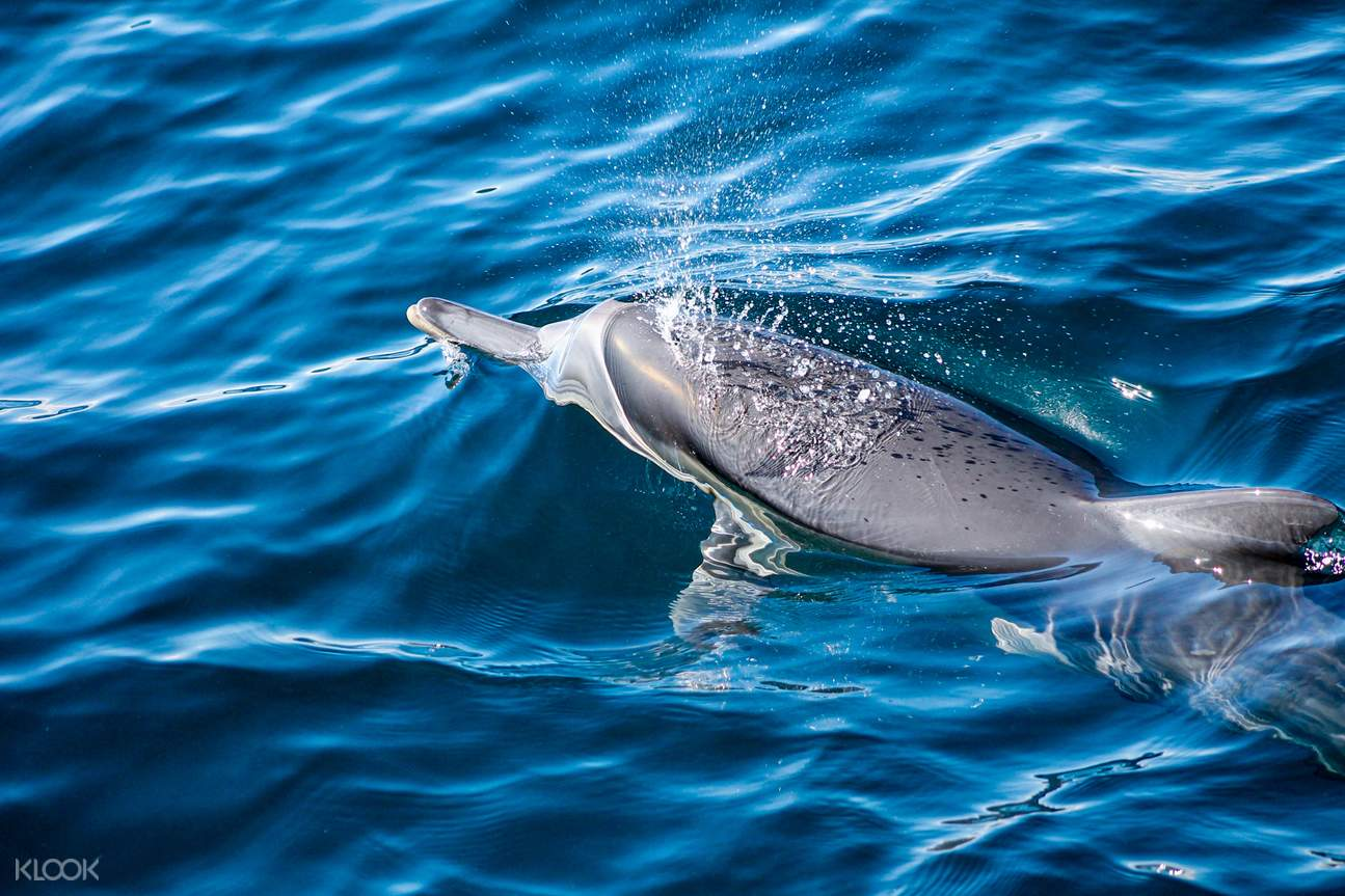 See Dolphins