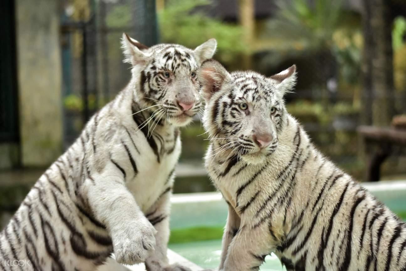 white tigers in tiger kingdom chiang mai