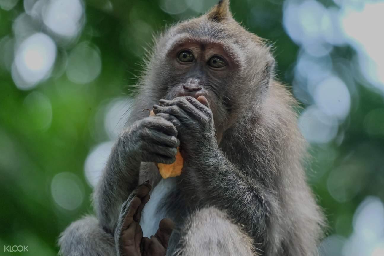 monyet makan buah