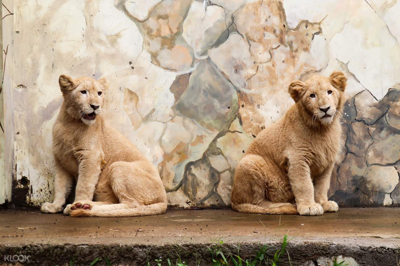 lion cubs in Lembang Park and Zoo