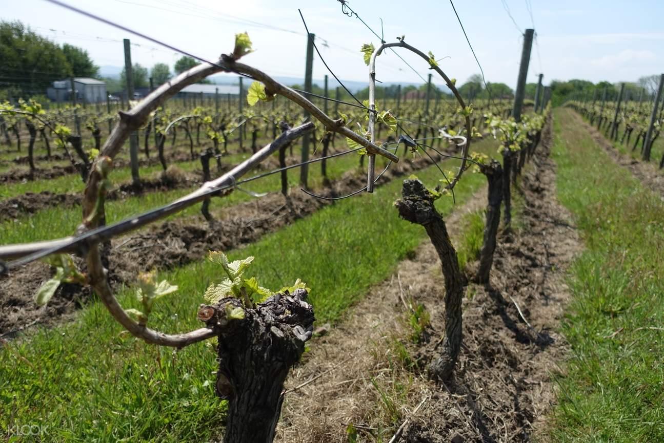 Ambriel vineyard