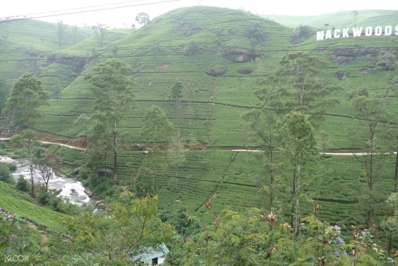 mackwoods tea plantation