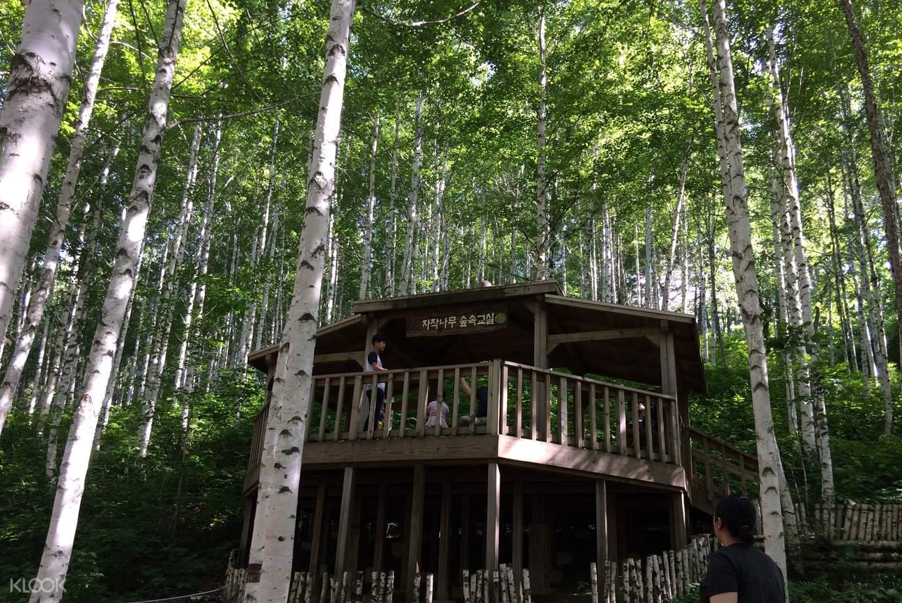 Wondaeri Birch Tree Forest
