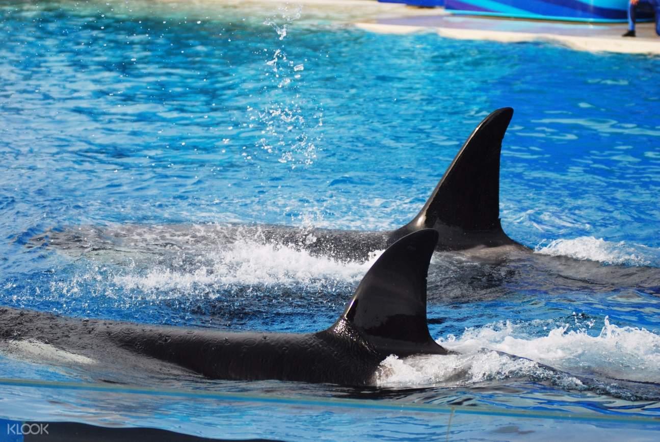 Sea World San Diego killer whales