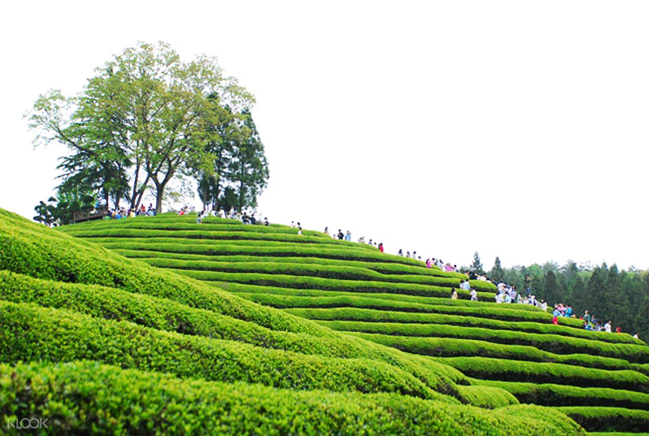 Daehan Dawon Green Tea Plantation
