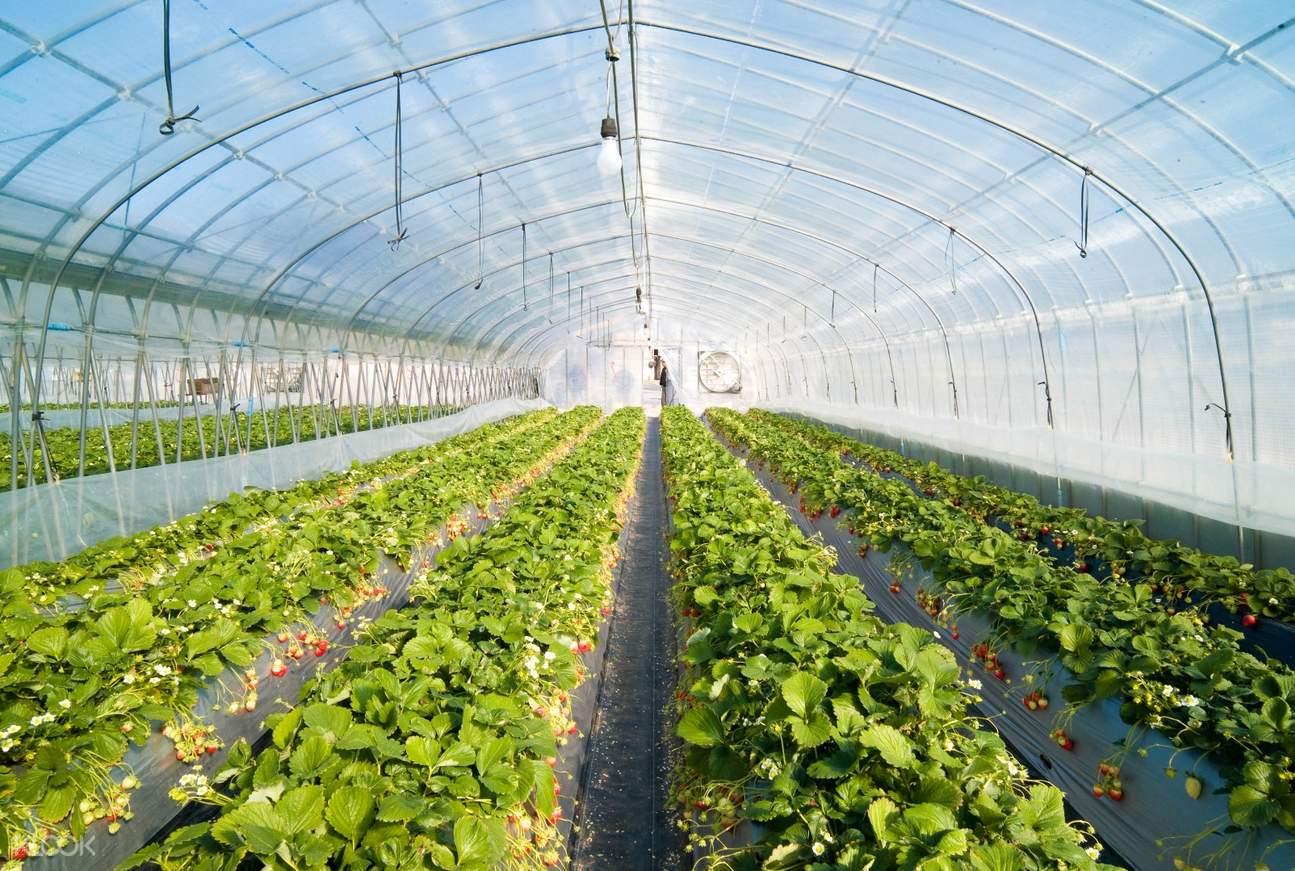 new zealand strawberry farm da lat