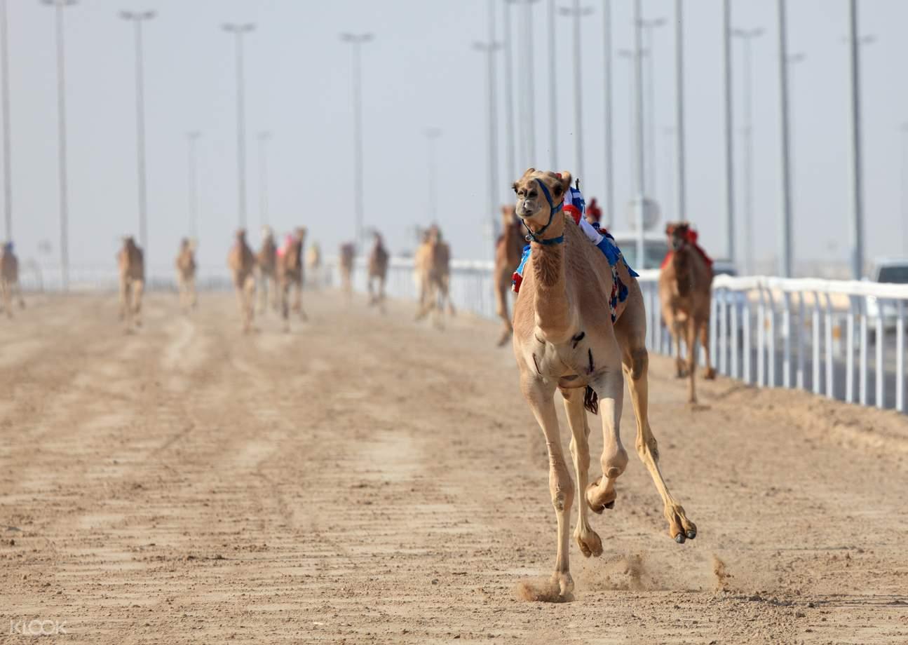 Camel racing qatar