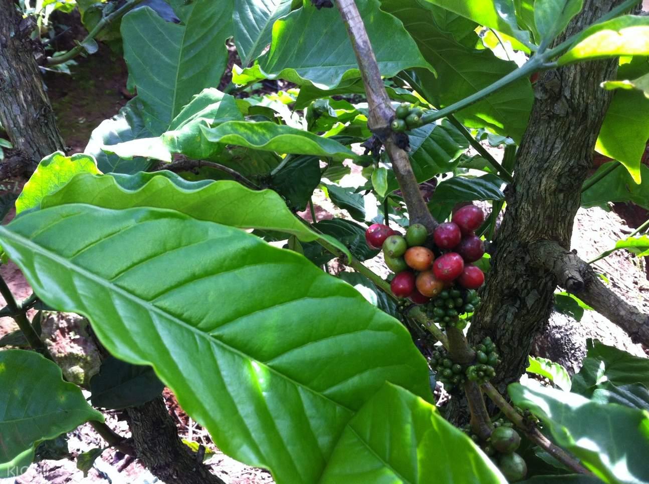 越南咖啡种植园