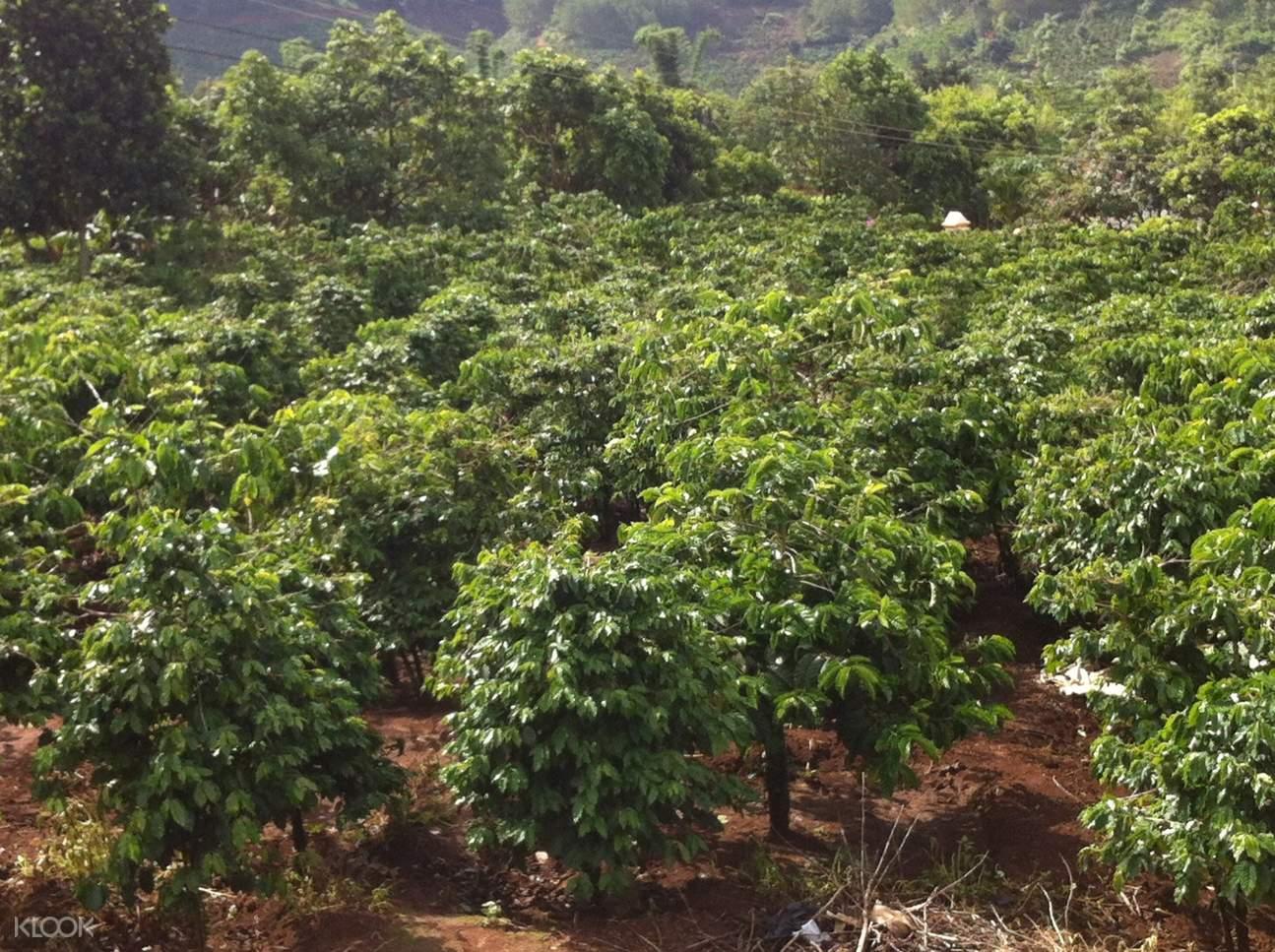 越南果子狸咖啡种植园