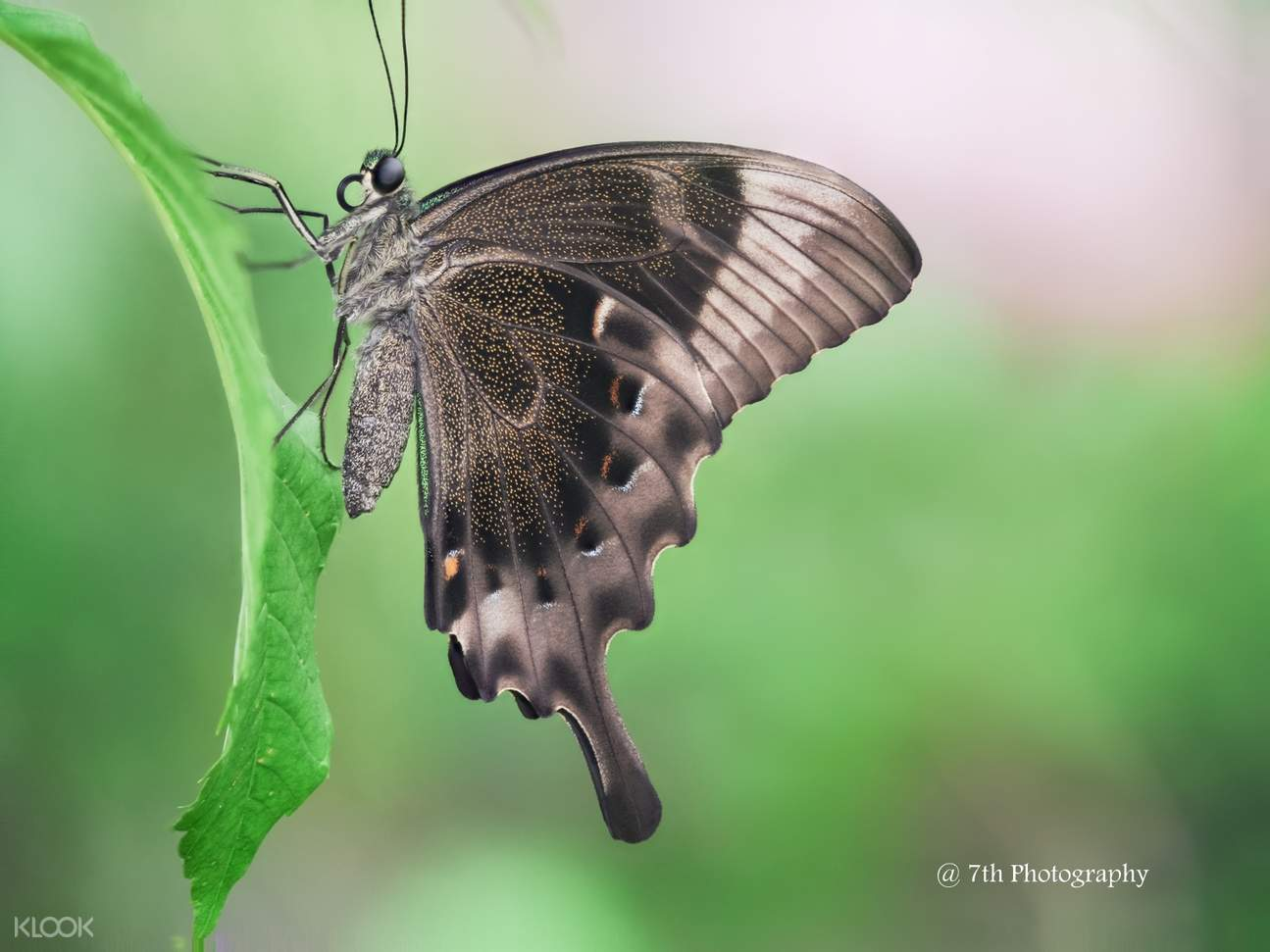 Catch butterfly species such as the swift peacock at the Butterfly Park & Insect Kingdom