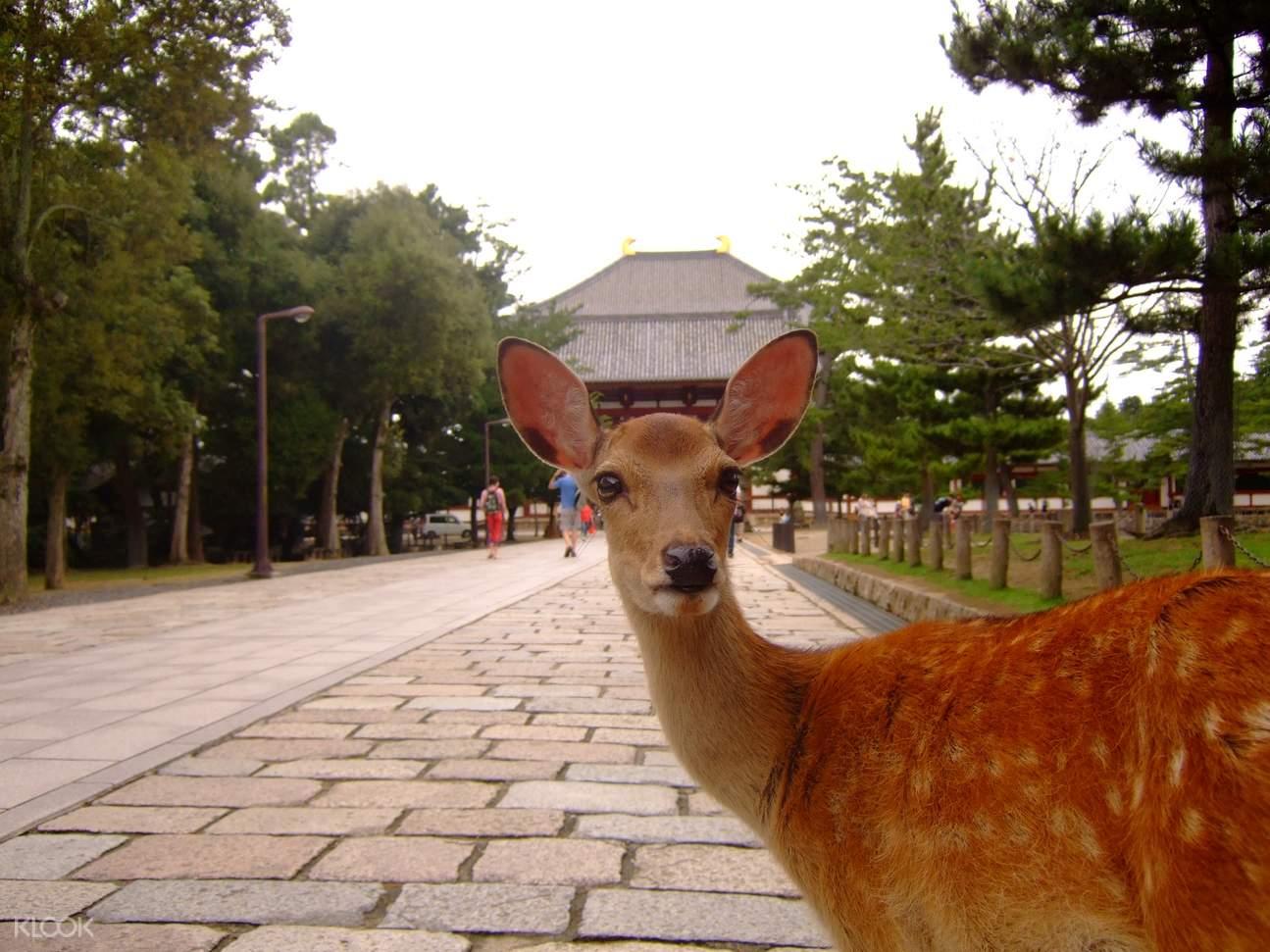 freely roaming deers at nara park