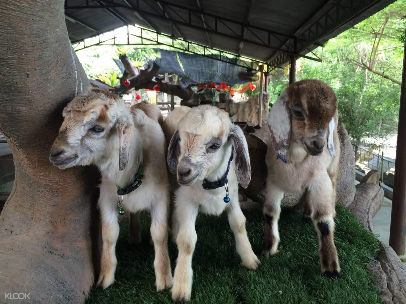 吉隆坡动物园,城の农场,城之农场,吉隆坡一日游,吉隆坡亲子,吉隆坡羊驼,动物园农场
