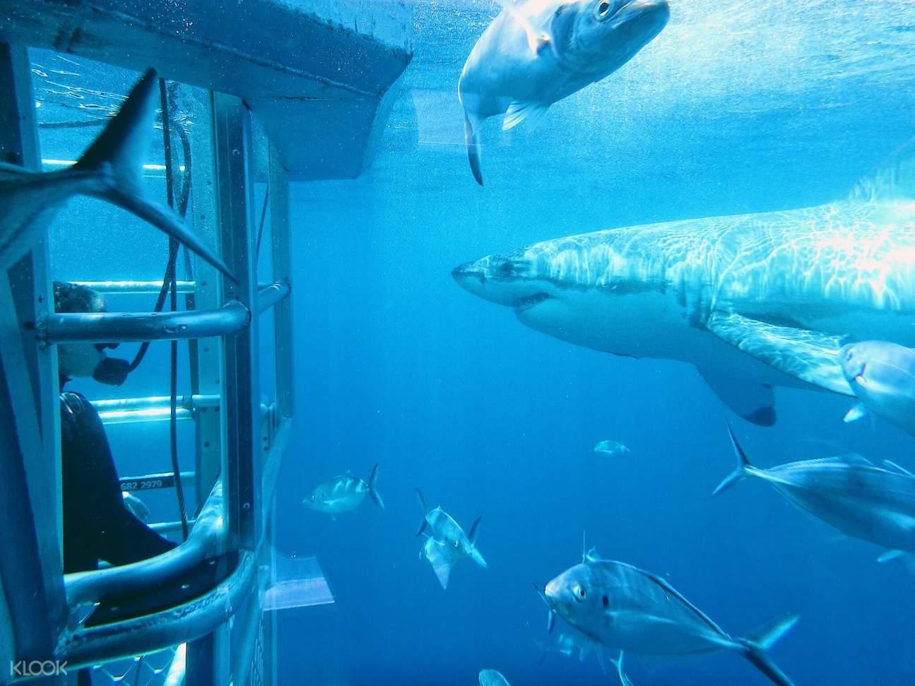 在林肯港的水下铁笼观赏大白鲨