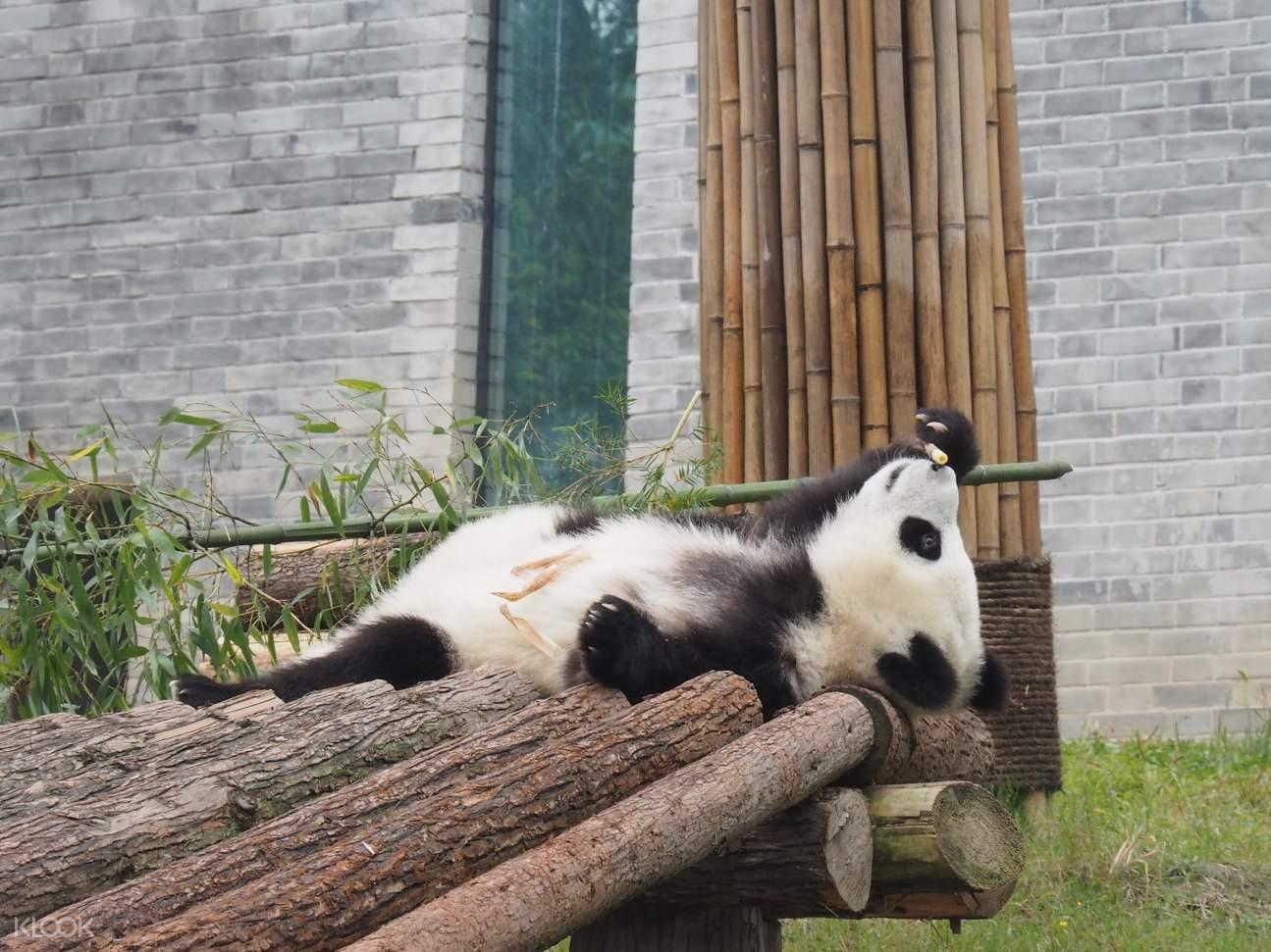 都江堰大熊貓保育基地,熊貓飼養員體驗,熊貓飼養員一日體驗