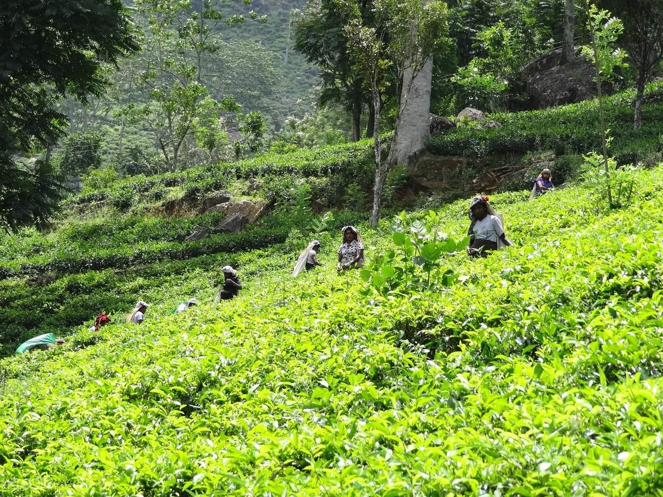 glenloch tea plantation