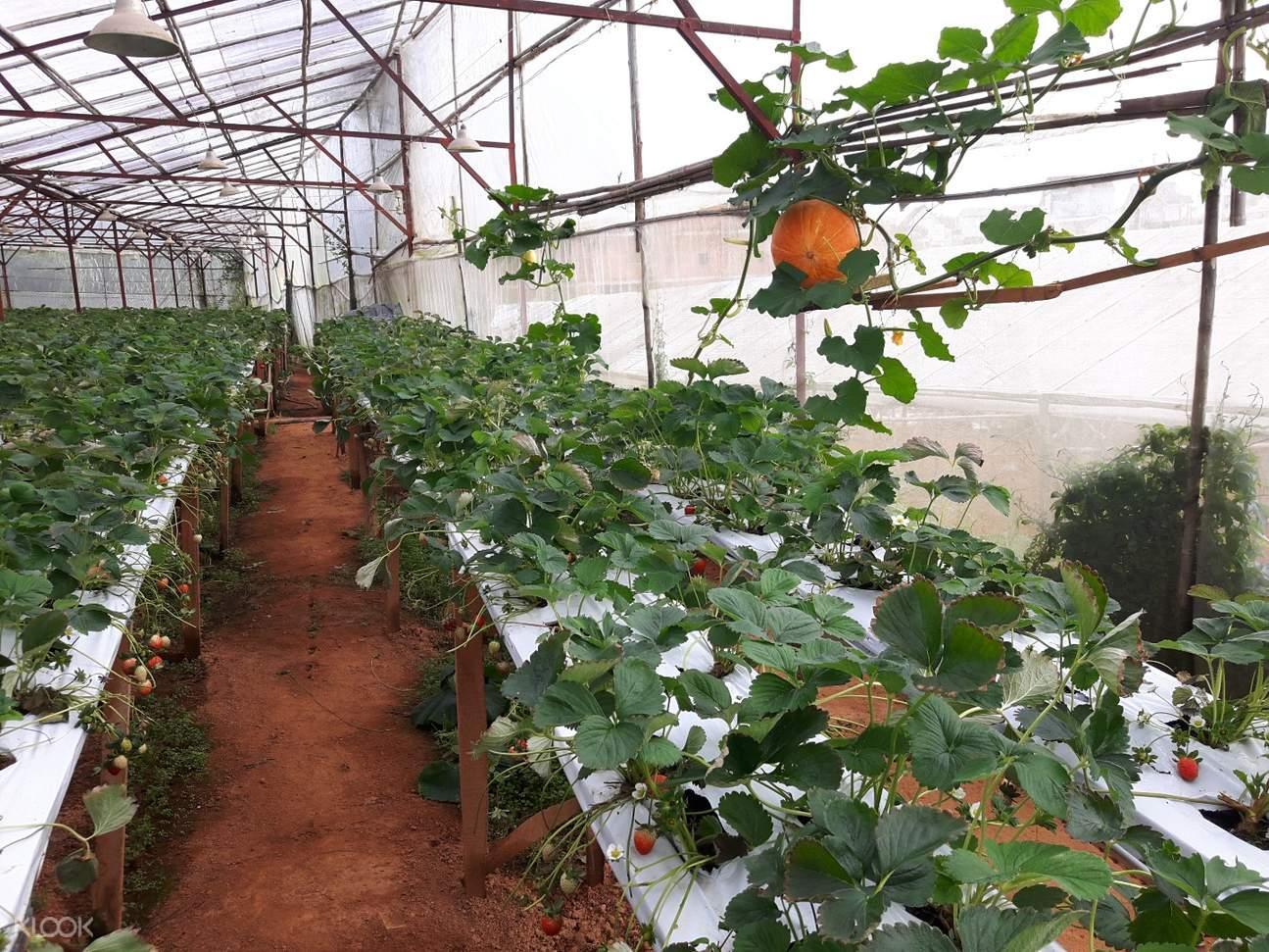 大叻草莓農場