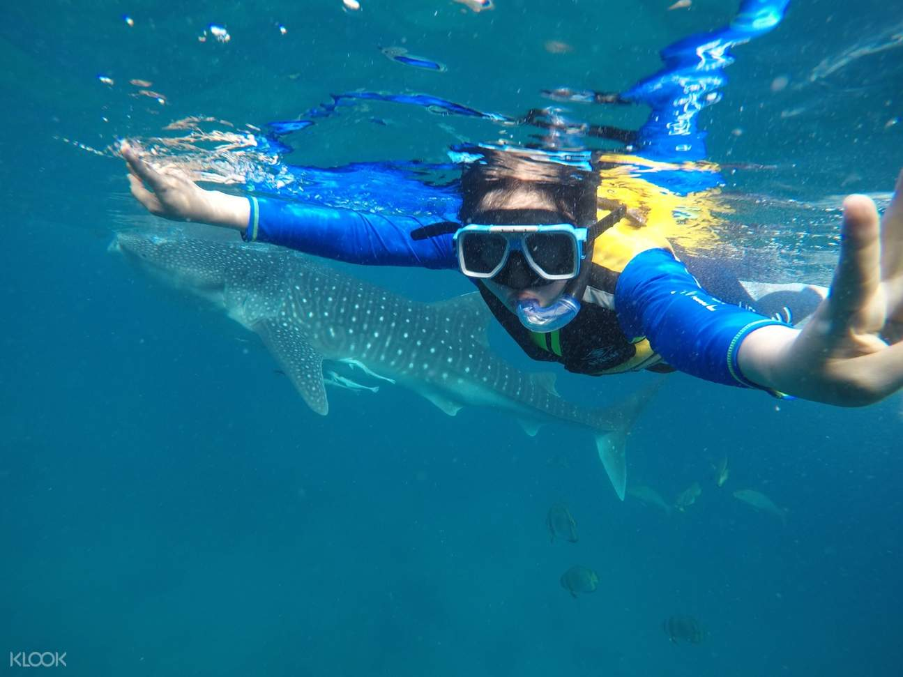 a person snorkeling with a whale shark