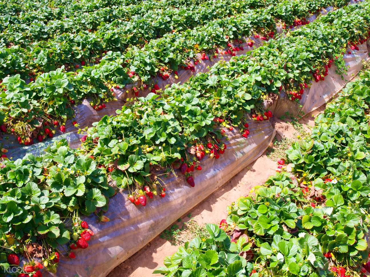strawberry farm busan