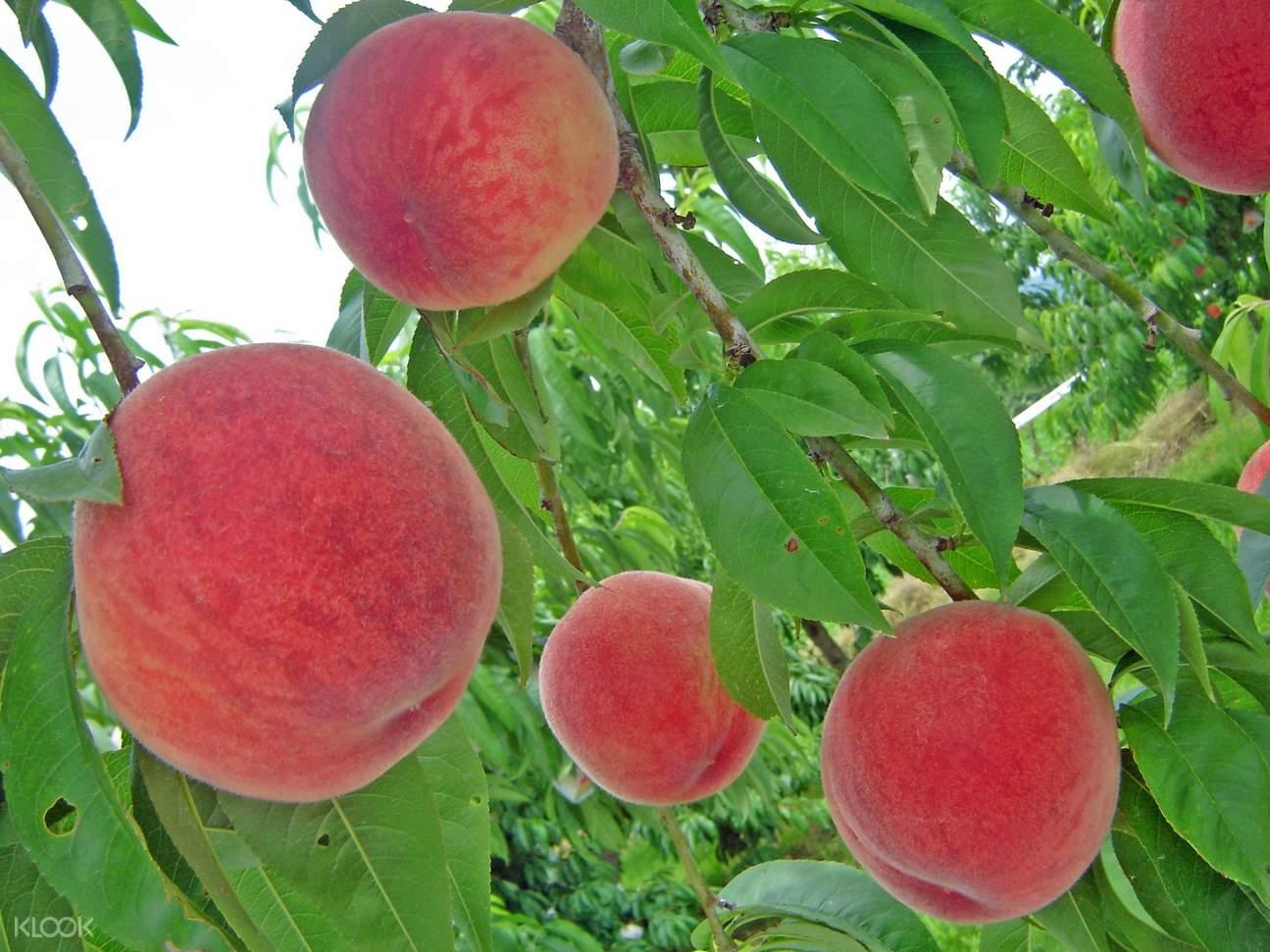 peach picking japan