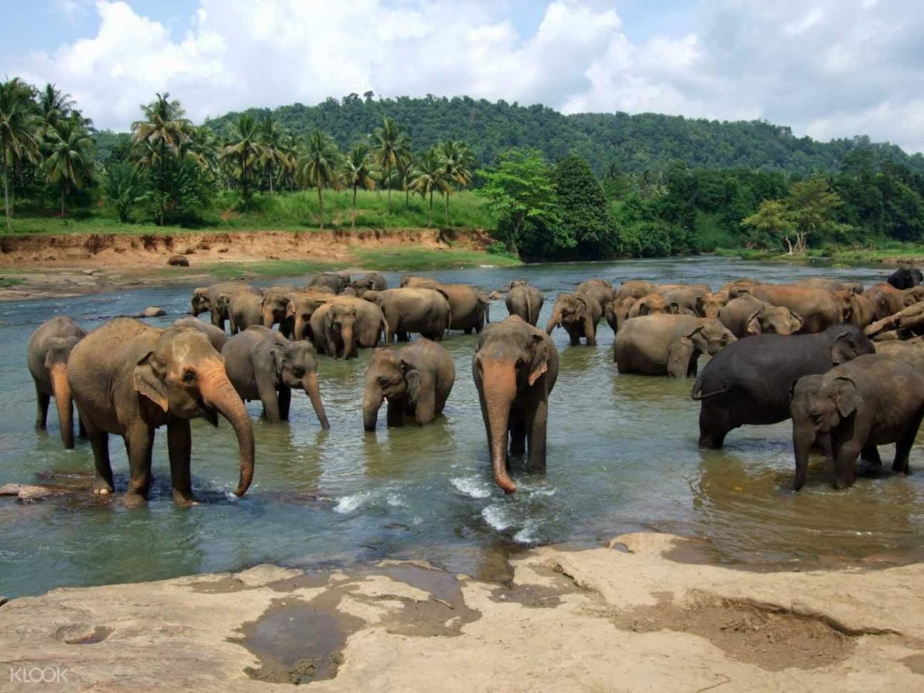 斯里蘭卡Pinnawala 平納瓦拉大象孤兒院