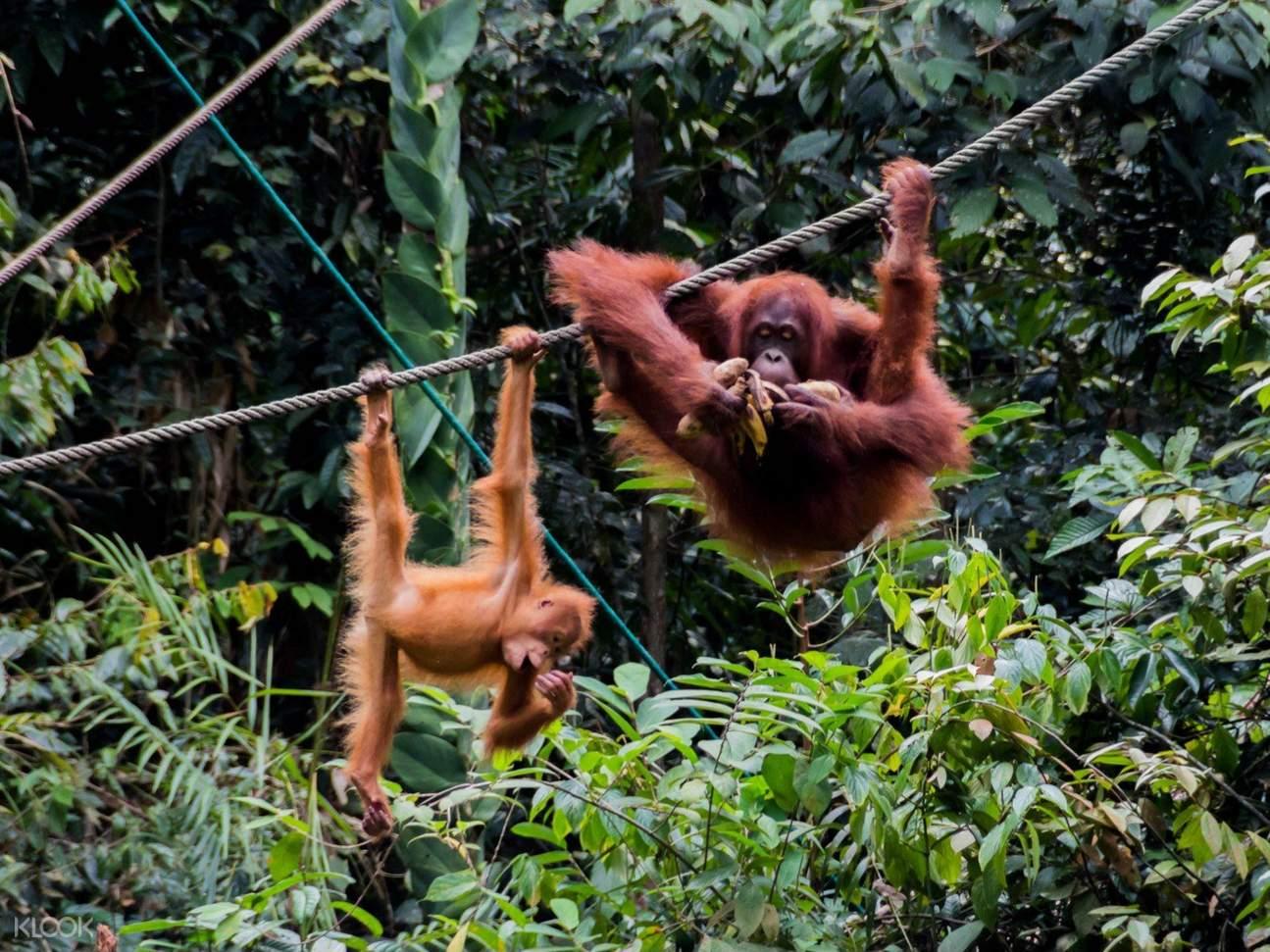 orangutans hanging on rope in sarawak semenggoh wildlife centre