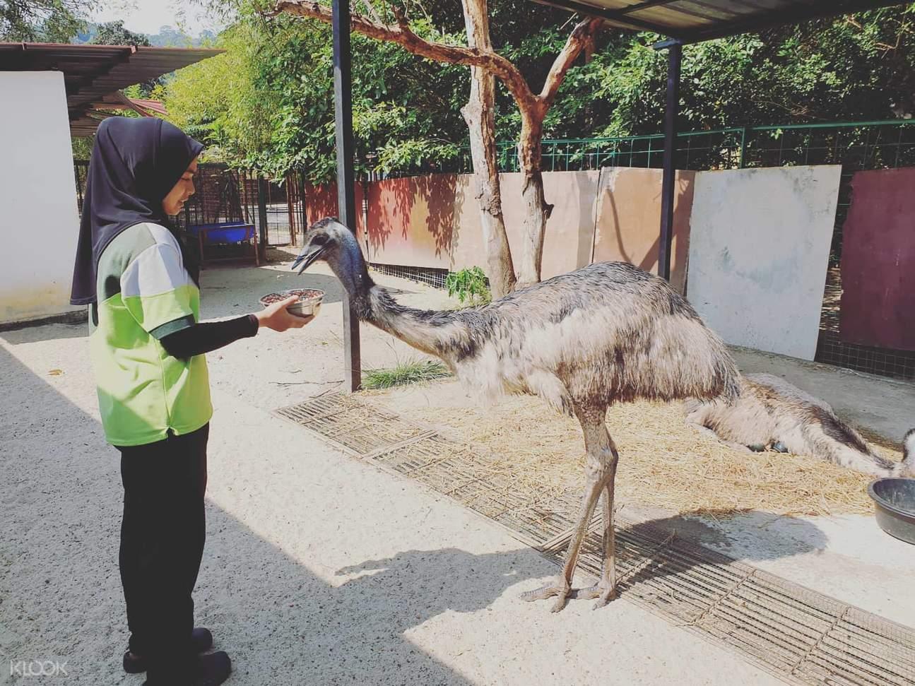 emu in langkawi wildlife park