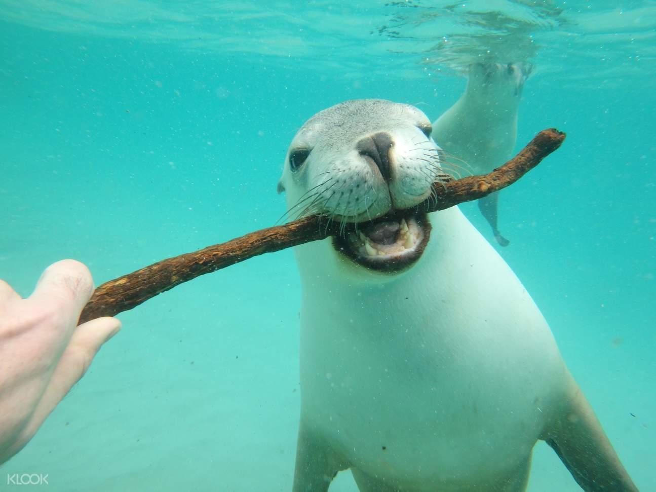 port lincoln sea lion swim