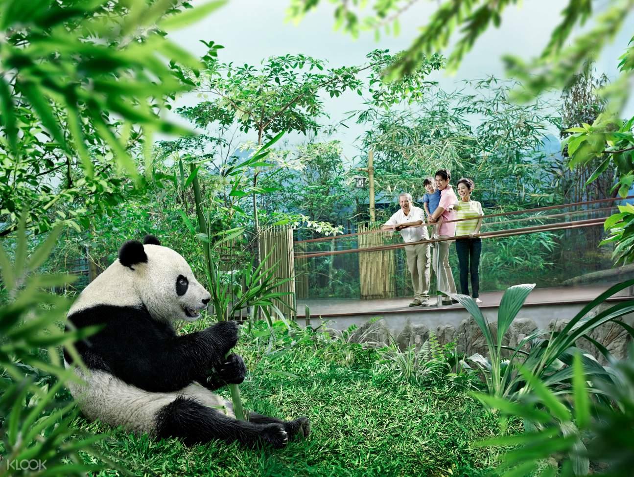 Observe the Giant Pandas