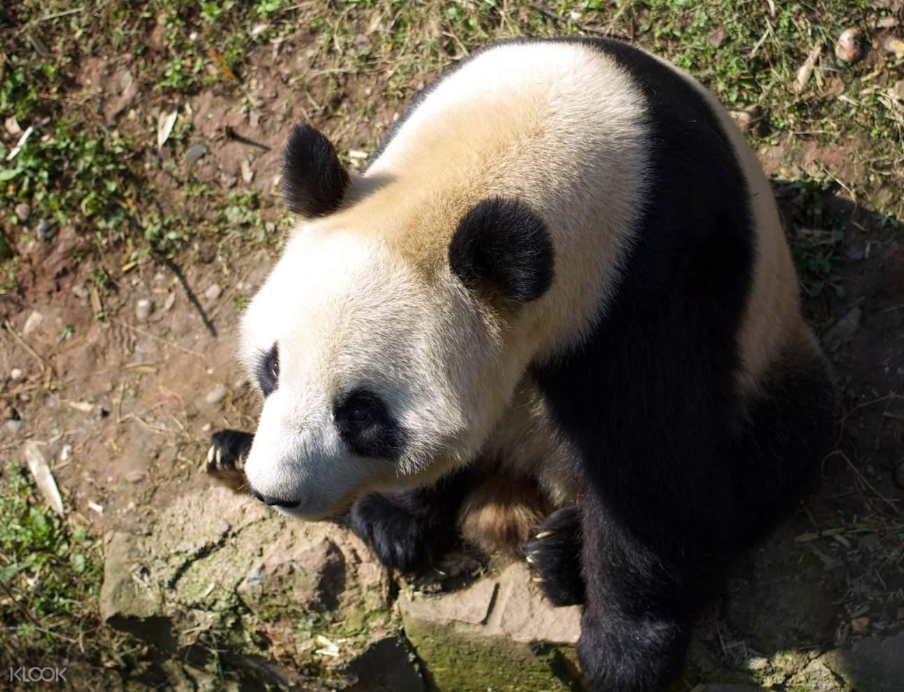 panda experience Chengdu