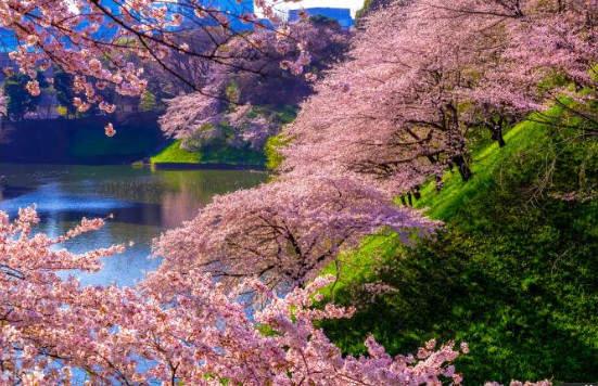 cherry blossoms in chidorigafuchi