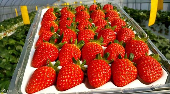 草莓農場採摘