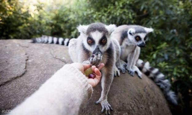 person feeding lemurs