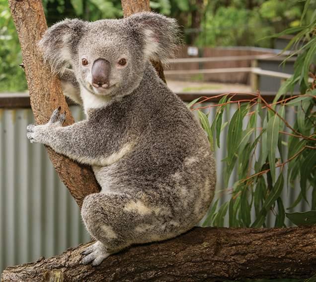 庫蘭達無尾熊花園,澳洲凱恩斯一日遊,澳洲凱恩斯無尾熊