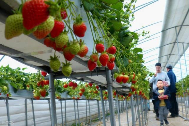 Strawberry picking Gyeonggi-do