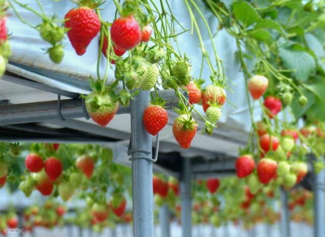 Gyeonggi-do strawberry picking