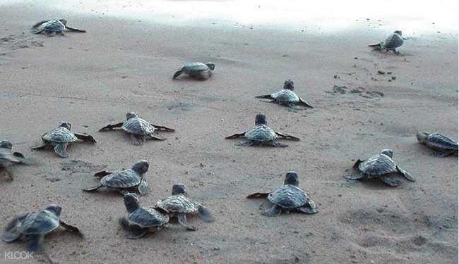 斯里兰卡 巴勒皮蒂耶生态漂流 & 希卡杜瓦海滩浮潜(加勒出发)