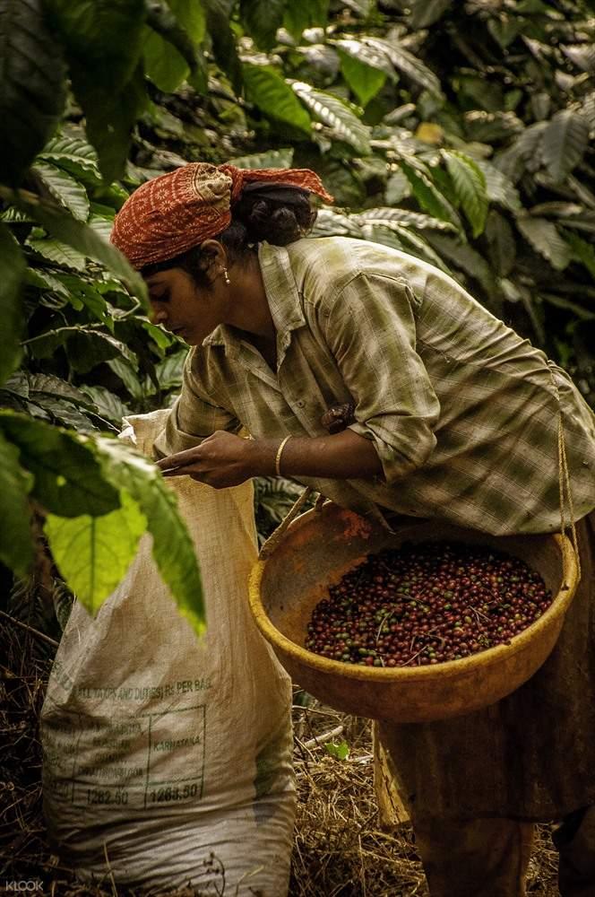 perkebunan kopi coorg