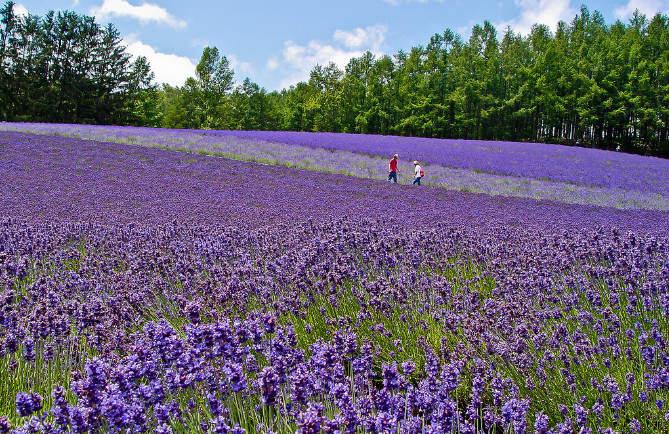 farm tomita lavender