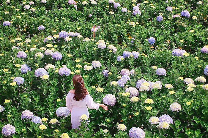 cẩm tú cầu flowers