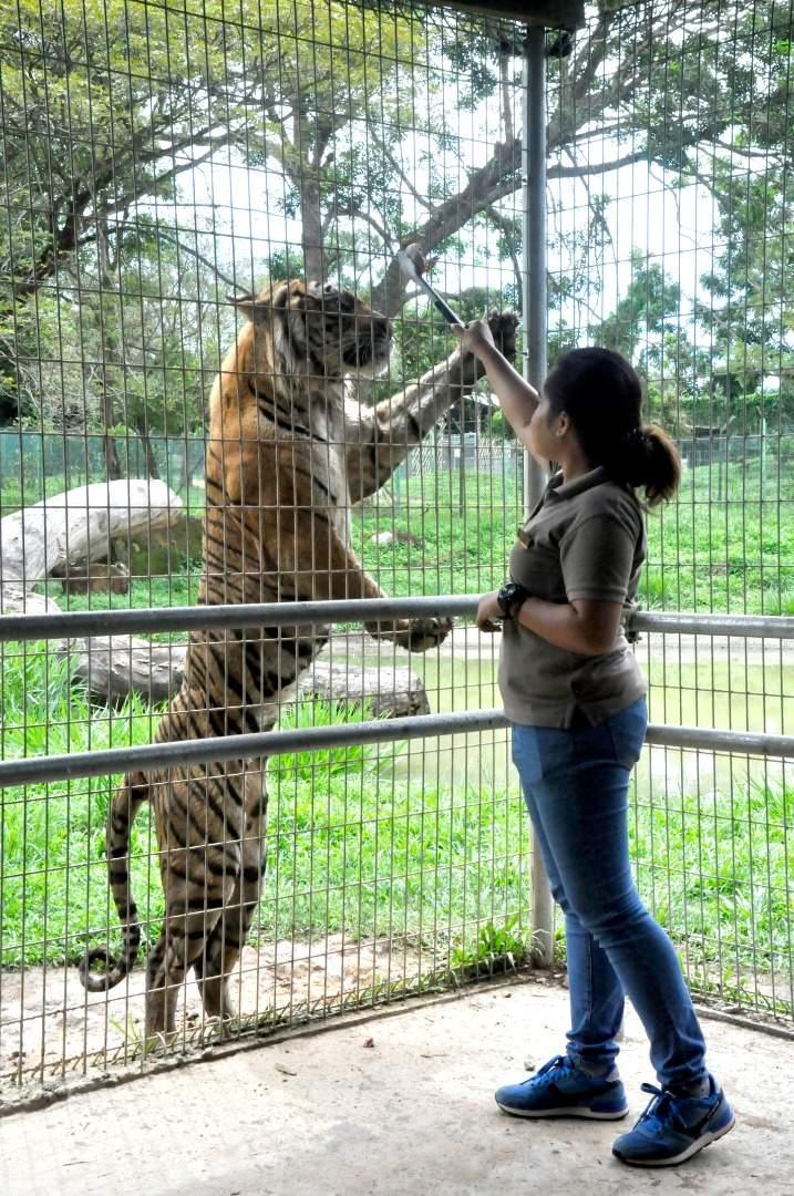 Don't miss the tiger encounter at Safari Wonderland