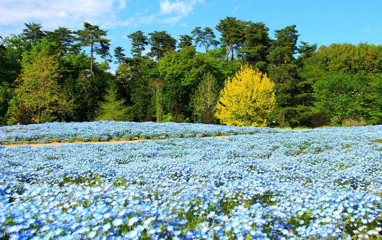 field of nemophila in national hitachi seaside park