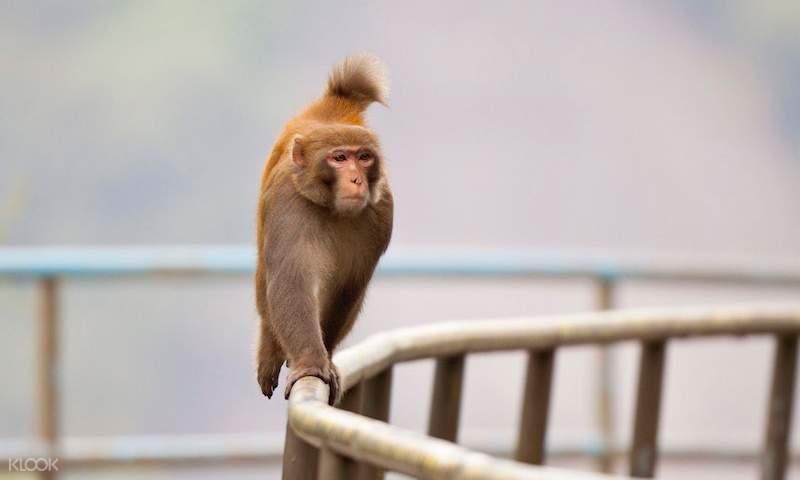 monkey at lion rock trail