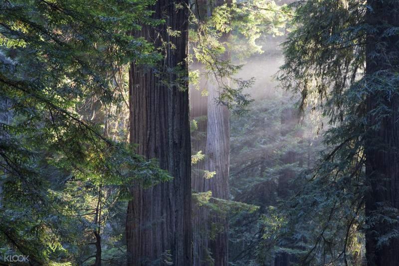 旧金山红杉林