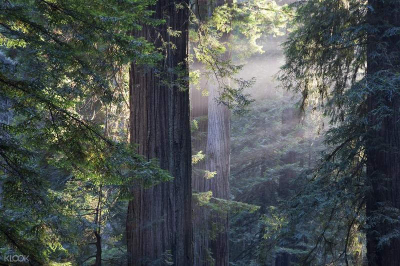 舊金山紅杉林