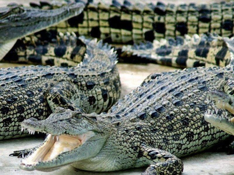 crocodile in johor bahru